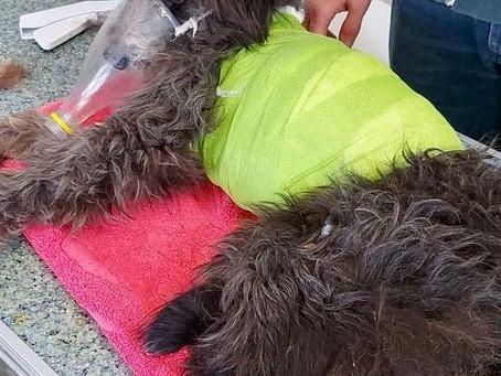 Sirius Animal Rescue, Romania/UK
