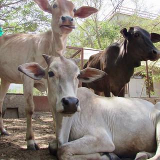 Animal Aid Unlimited, India