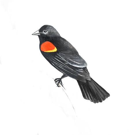 red-winged black bird