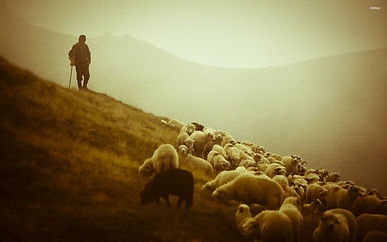 herd-sheep-shepherd.jpg