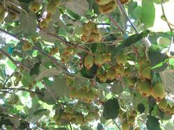 Kiwi crop