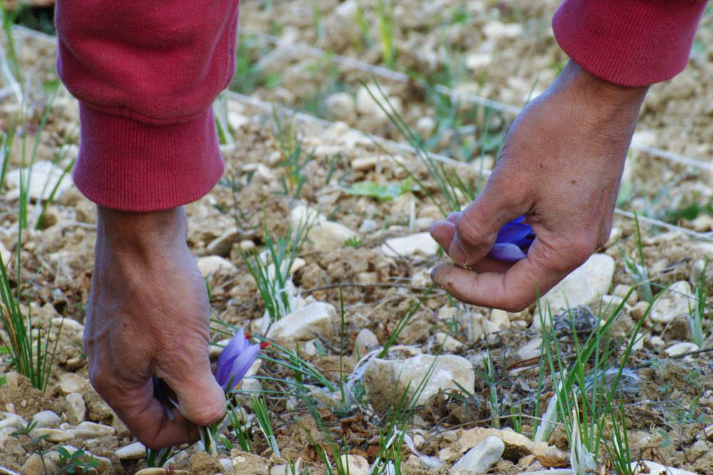 Safran or rouge des deux rivières crocus sativus