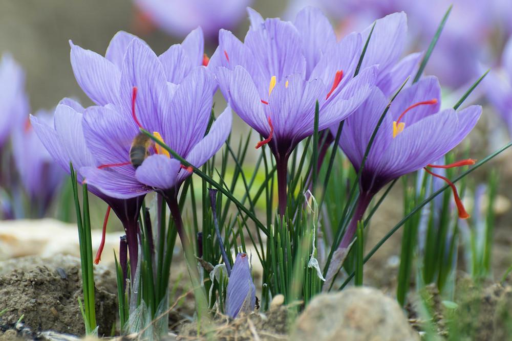Safran crocus sativus