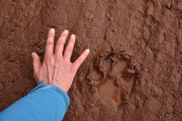 Les loups sont passés par là !