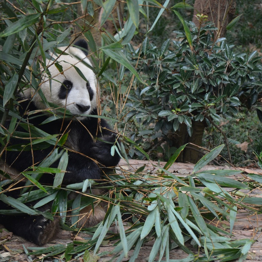 Sichuan = panda
