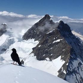 Jungfrau et Chocard