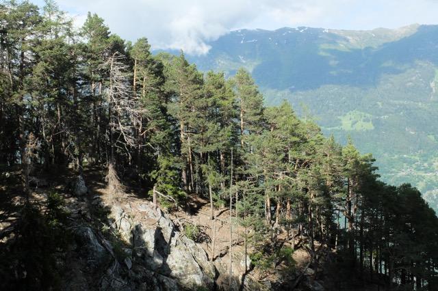 Les forêts de pins