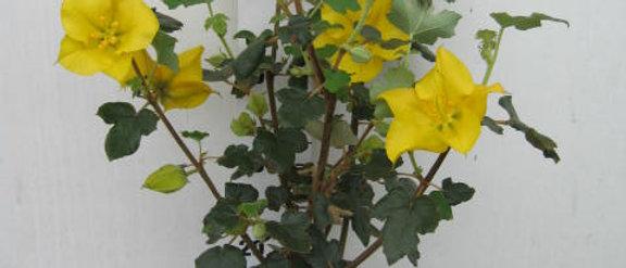 Fremontodendron jaune