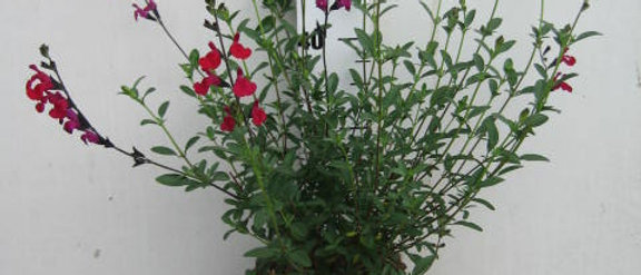 Salvia Bordeaux sauge