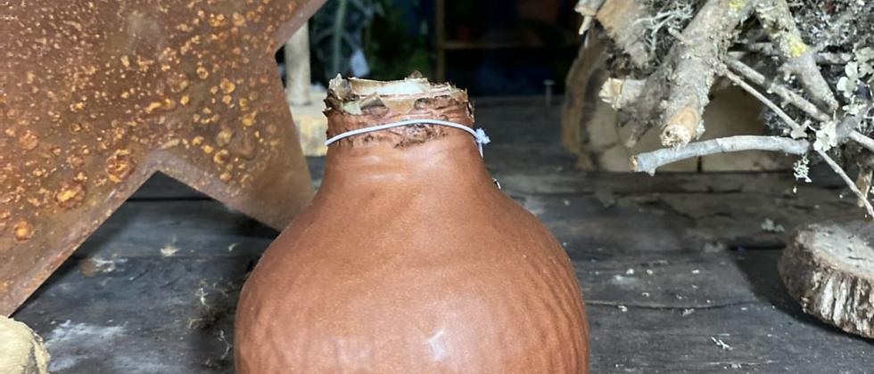 Bulbe d'amaryllis bronze L