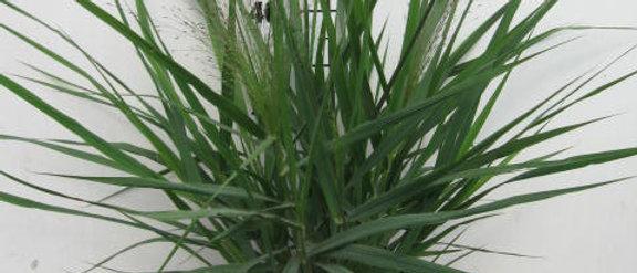Eragrostis spectabilis purple love grass