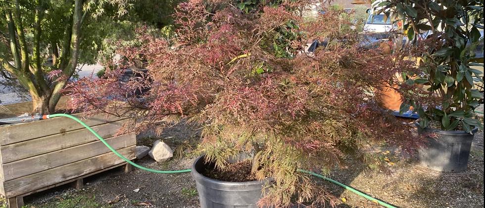 Acer Bonsaï palmatum dissectum Atropurpureum coupe