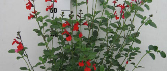 Salvia Royal bumble rouge sauge