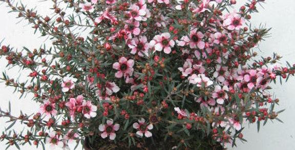Leptospermum martinii Myrte de Nouvelle Zélande