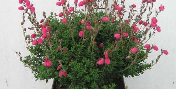 Daboecia cantabrica Angelina rouge