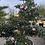 Thumbnail: Camelia sasanqua nuage rose