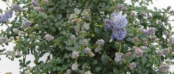Ceanothus thyrsiflorus Lilas de californie bleu