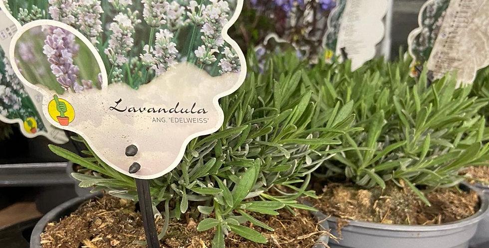 Lavande Edelweiss blanche