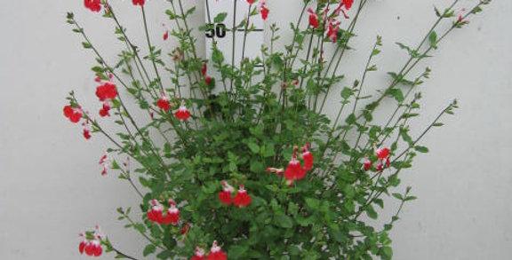 Salvia hot lips sauge