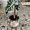 Thumbnail: Alocasia Polly et son cache pot mordoré