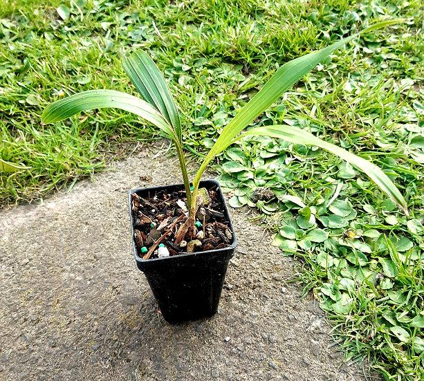 Rhopalostylis sapida (Nikau Palm)