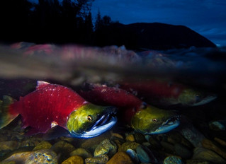 Fraser River sockeye fishery closed after low early returns