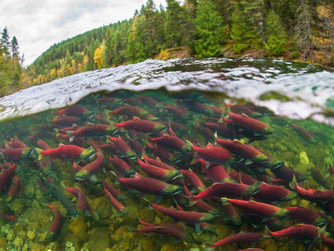 Opinion: Fisheries minister's negligence is putting the future of wild salmon at risk