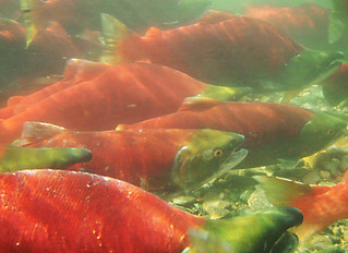 Update: Low salmon returns mean few openings on the Fraser