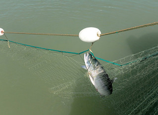 Illegal fishing persists, with lack of enforcement on Fraser, group claims