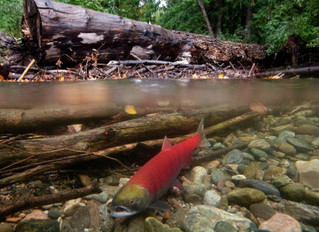 Lower Fraser ban on salmon fishing hits sport fishery hard