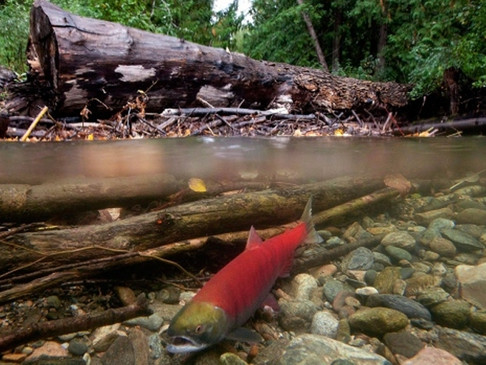 Expect decreased salmon stocks in B.C. this year: DFO