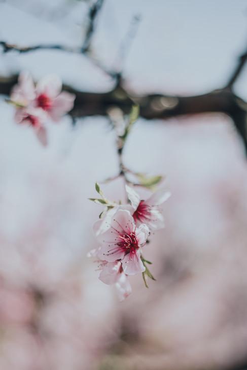 Peach Blossoms-2.jpg