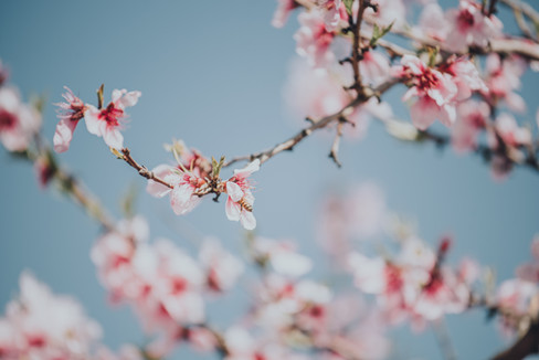 Peach Blossoms-7.jpg