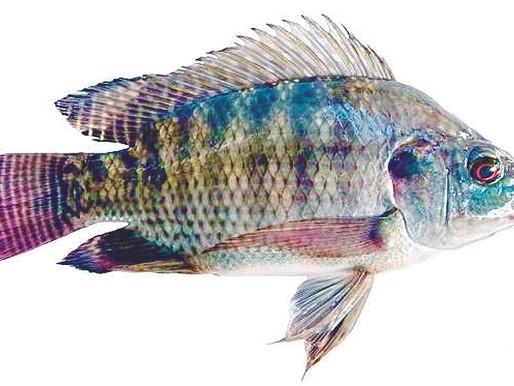 Peixe no Balcão