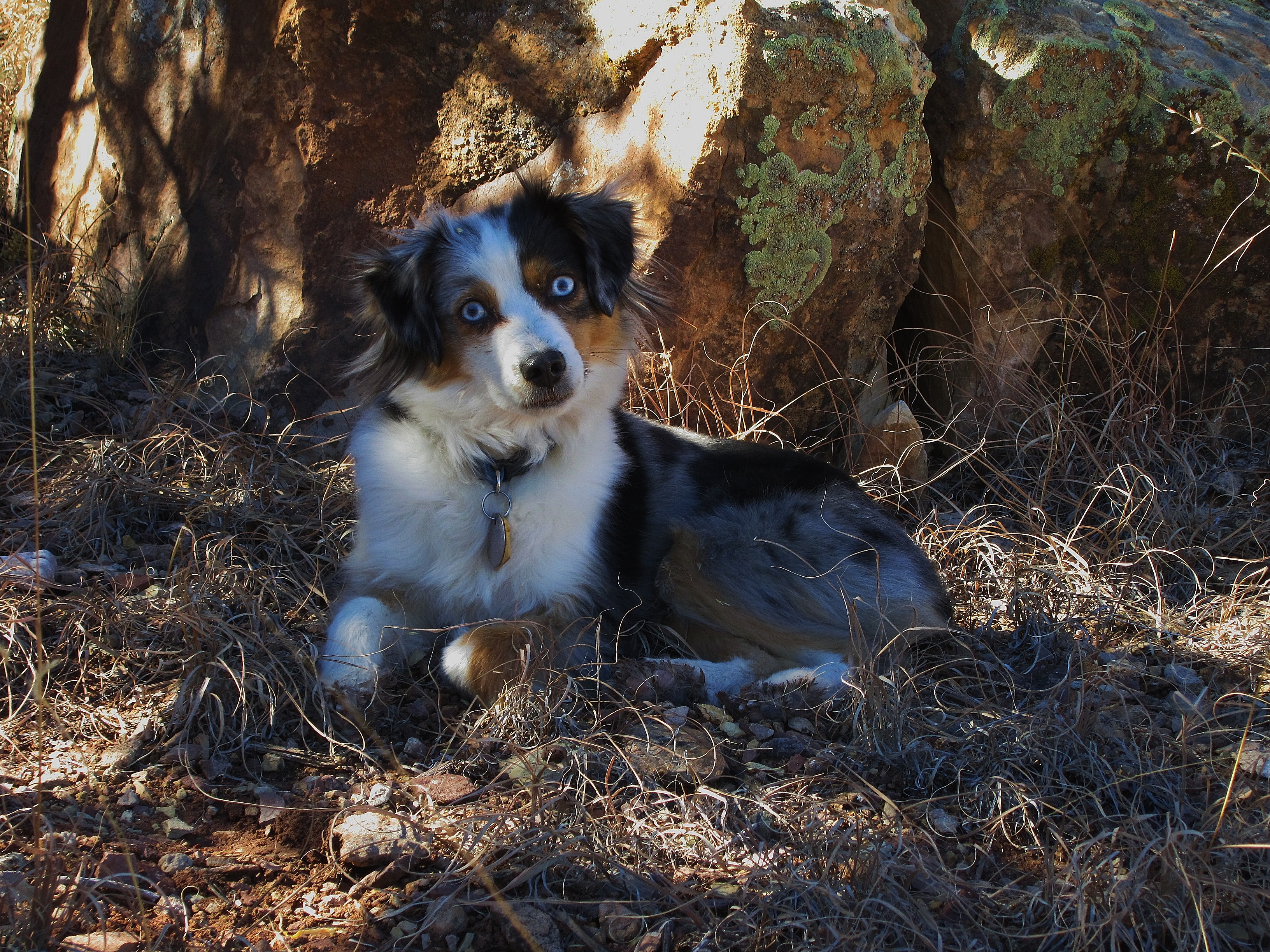 Indy from Toy Aussies in Colorado