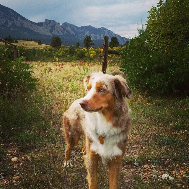 Kadie - Red Merle Female