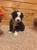 Starlight Pup