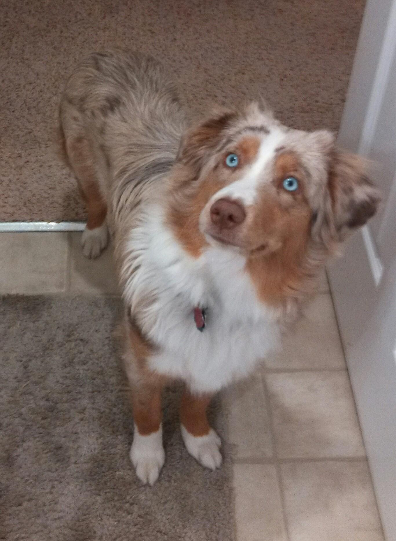 Kadie - Red Merle Mini Aussie Female