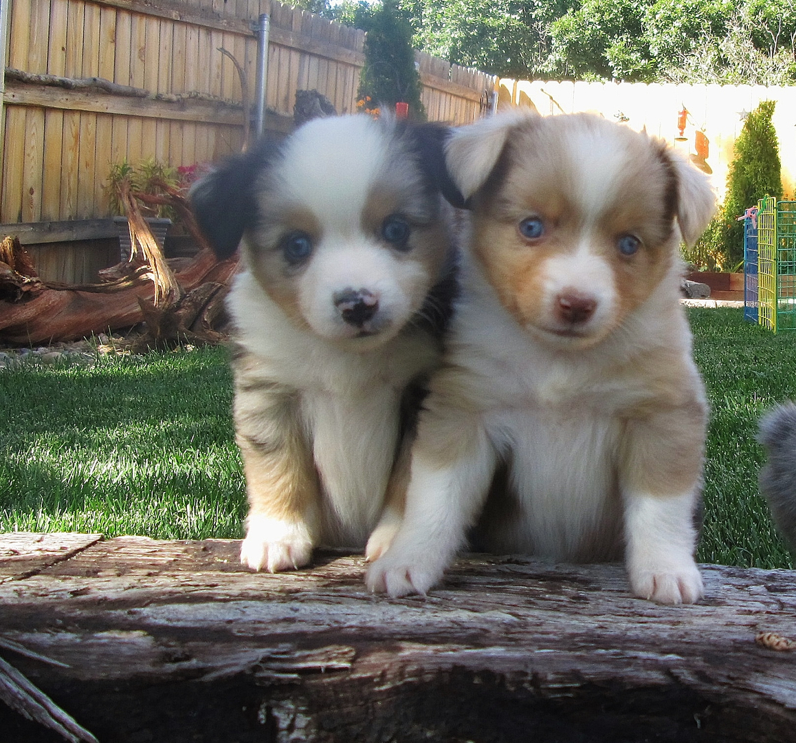 Blue merle male and red merle female