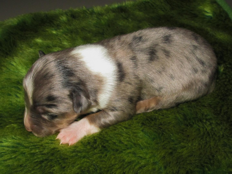 Blue Merle pup