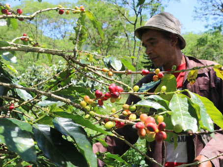 How to find Great Sumatra Coffee Beans Supplier ?