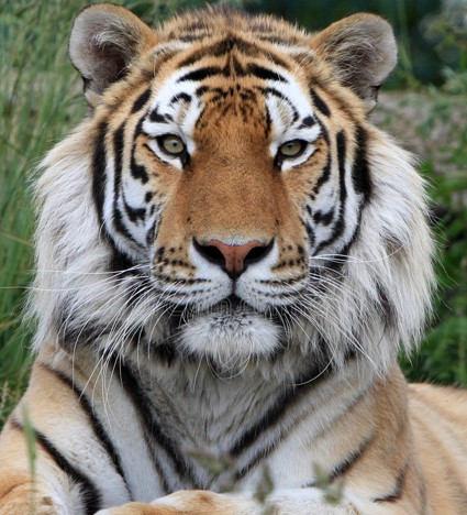 alum tiger.jpg