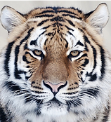 student tiger.png