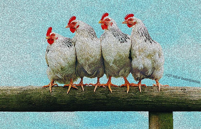 Chicken_edited.jpg