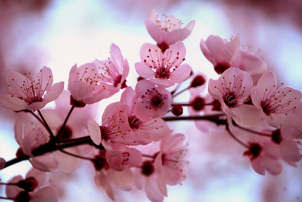 Cherry_Blossom_by_HappilyInsane