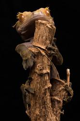 PDI: 'New Caledonian Crested Lizard' by David Mace - Belfast Photo Imaging Club