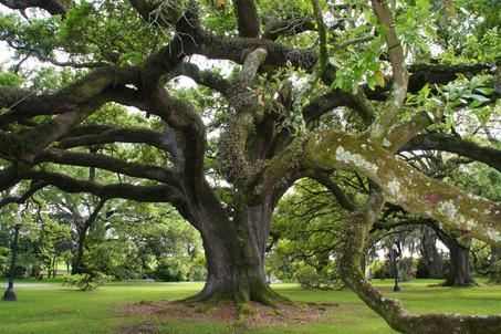 Live oak in Louisiana