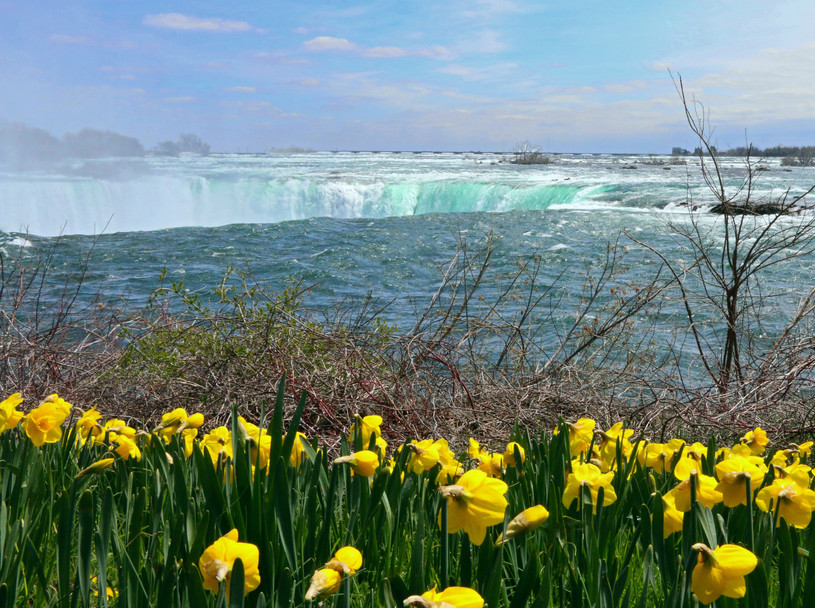 With annual blooms in the millions, Niagara Falls is the daffodil capital of North America.