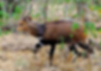 Bushbuck.jpg