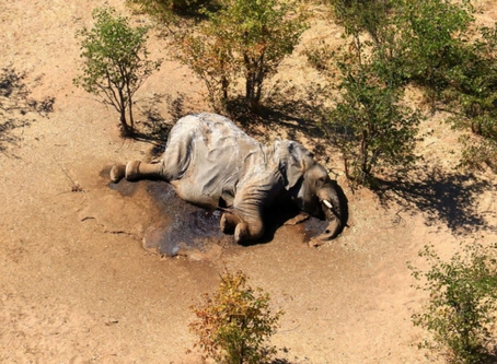 """The """"Mystery"""" Mass Dying of Elephant Is No Mystery"""